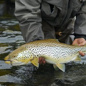 Brown trout caught fly fishing in Iceland