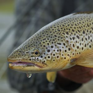 Beautiful Brown trout caught in Iceland